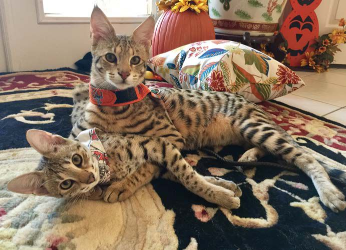 BONZ: Bonz says Savannah cat sibs are a purr-fect pair