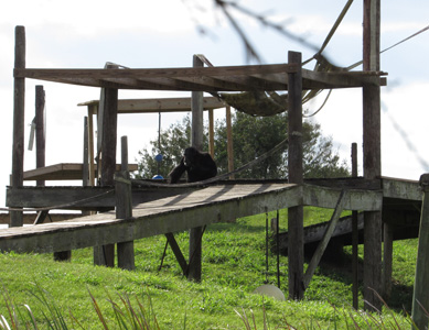 Glimpse of chimps heartens supporters of sanctuary