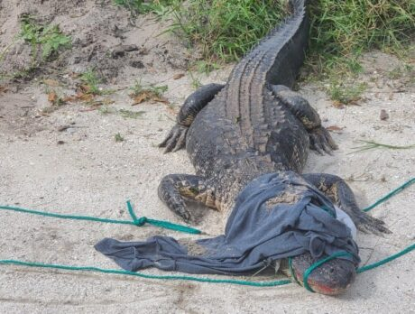 Fisherman accidentally catches 7-foot long gator