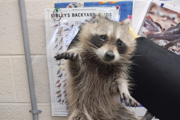 Animal control officer saves baby racoon